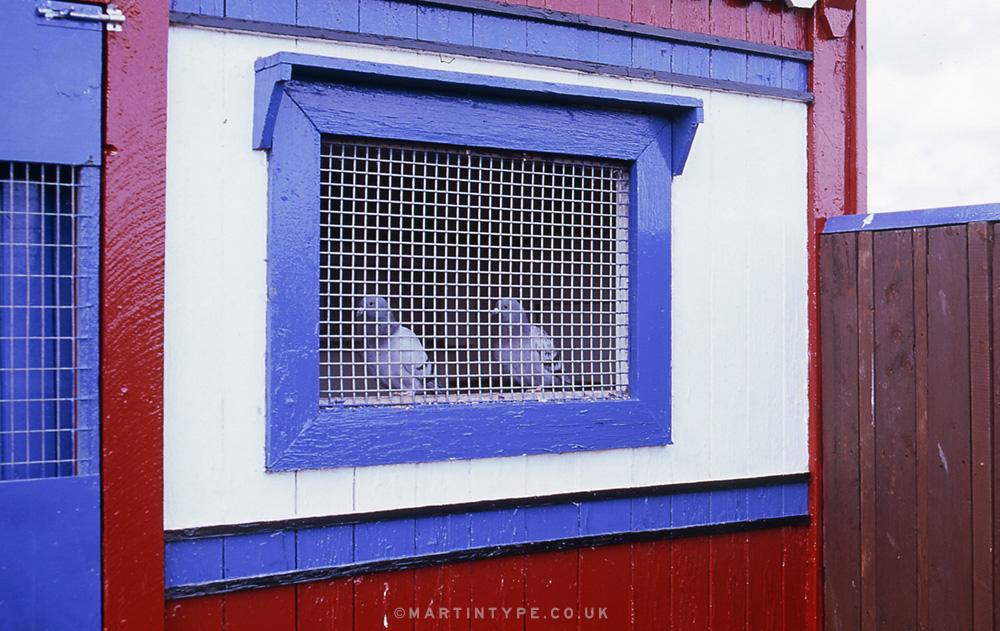 Maurice Surtees, Ryhope Pigeon Cree [Andy Martin - martintype.co.uk] 14